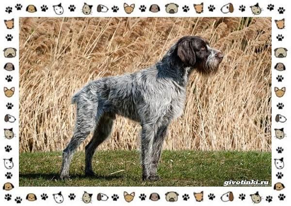 Породы-охотничьих-собак-13