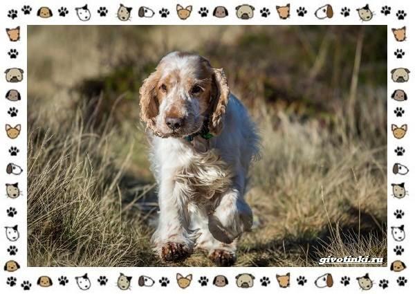 Породы-охотничьих-собак-14