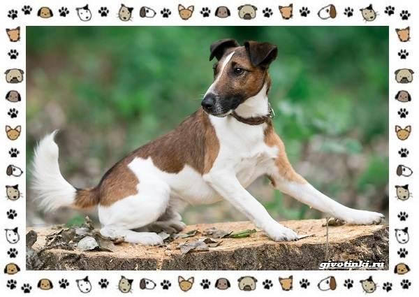 Породы-охотничьих-собак-15