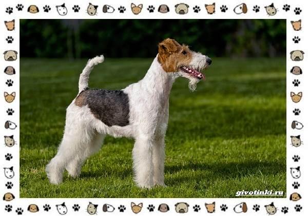 Породы-охотничьих-собак-16