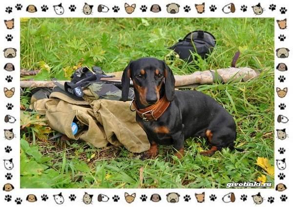 Породы-охотничьих-собак-17