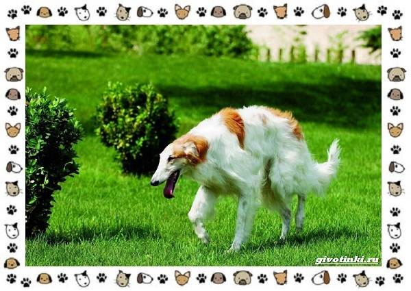 Породы-охотничьих-собак-18