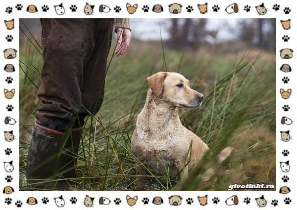 Породы-охотничьих-собак-19