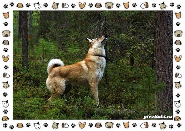 Породы-охотничьих-собак-2