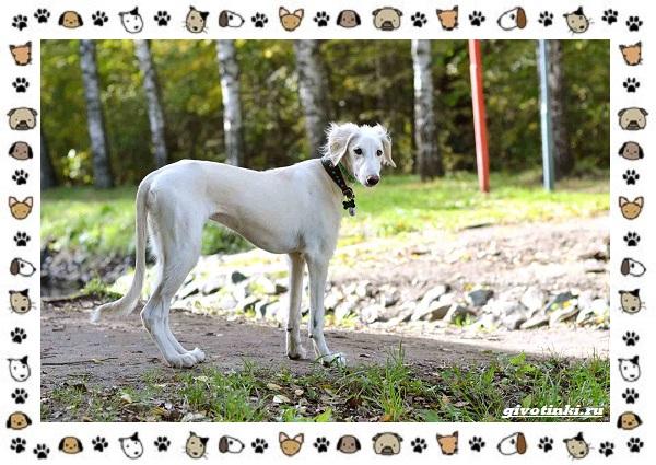 Породы-охотничьих-собак-20