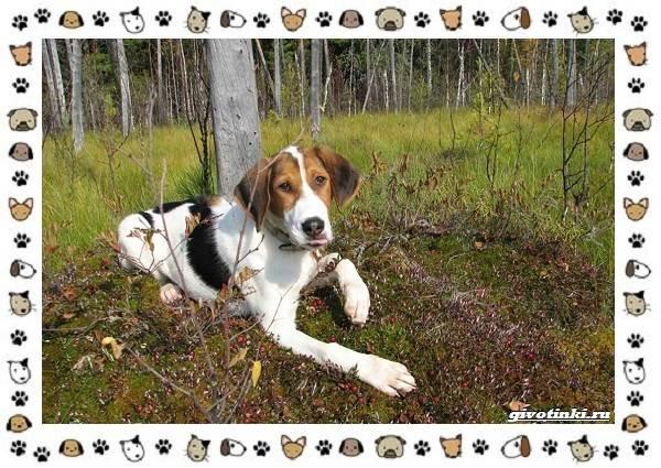 Породы-охотничьих-собак-5