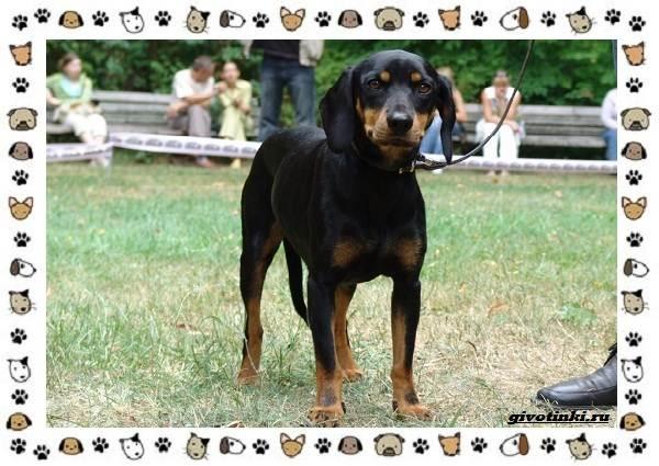 Породы-охотничьих-собак-7
