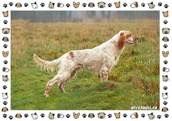 Породы-охотничьих-собак-8