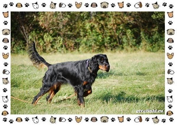 Породы-охотничьих-собак-9