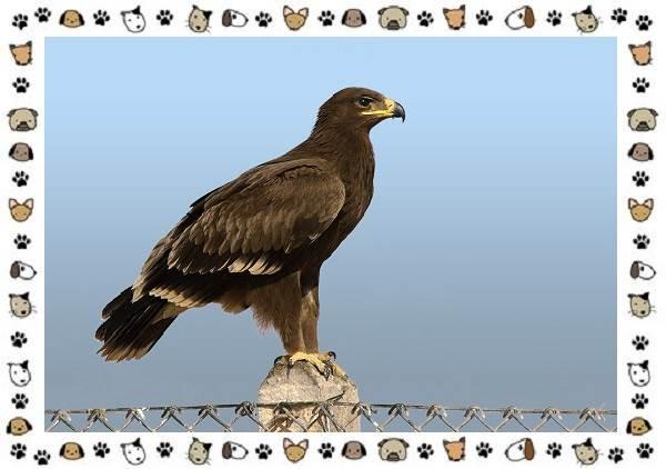 Виды-орлов-Описание-особенности-и-ареал-обитания-11