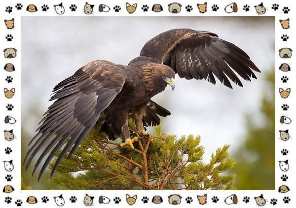 Виды-орлов-Описание-особенности-и-ареал-обитания-3
