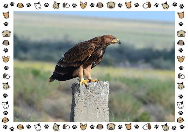Виды-орлов-Описание-особенности-и-ареал-обитания-4