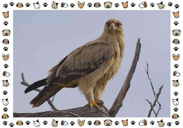 Виды-орлов-Описание-особенности-и-ареал-обитания-6