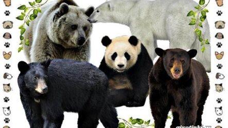Виды медведей: происхождение, распространение, поведение