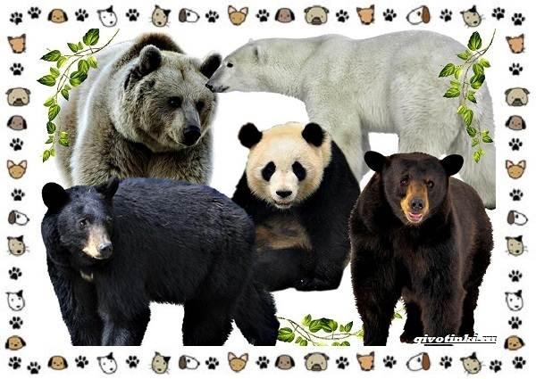Виды-медведей-происхождение-распространение-поведение-1