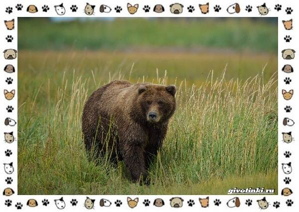 Виды-медведей-происхождение-распространение-поведение-10