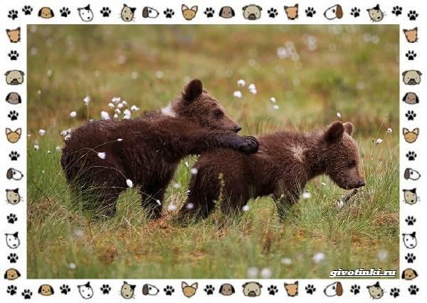 Виды-медведей-происхождение-распространение-поведение-11