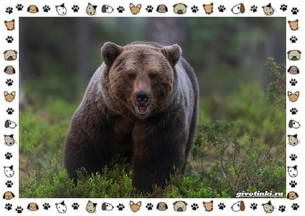 Виды-медведей-происхождение-распространение-поведение-12
