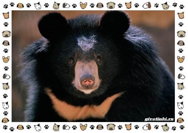 Виды-медведей-происхождение-распространение-поведение-15