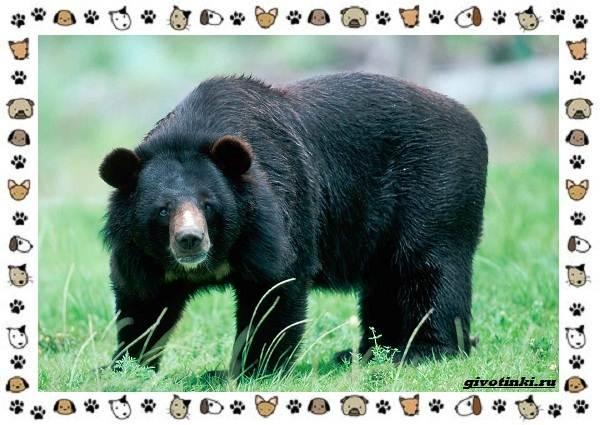 Виды-медведей-происхождение-распространение-поведение-16
