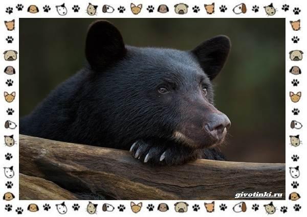 Виды-медведей-происхождение-распространение-поведение-17
