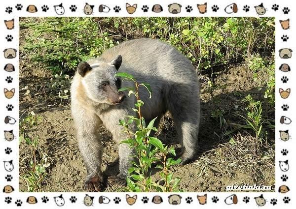 Виды-медведей-происхождение-распространение-поведение-19