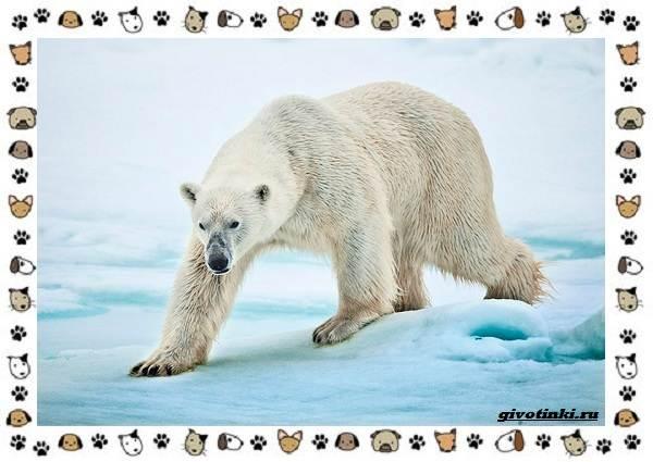 Виды-медведей-происхождение-распространение-поведение-21