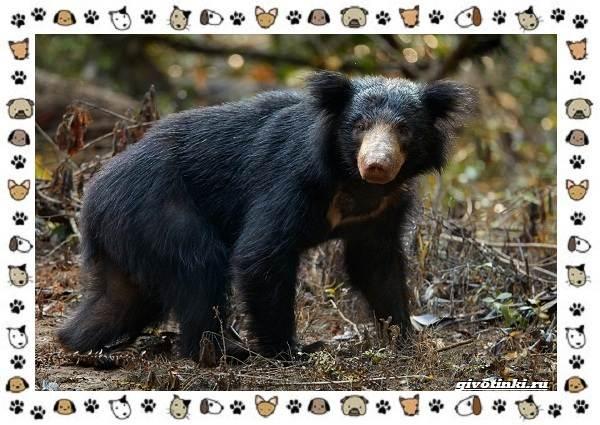 Виды-медведей-происхождение-распространение-поведение-24