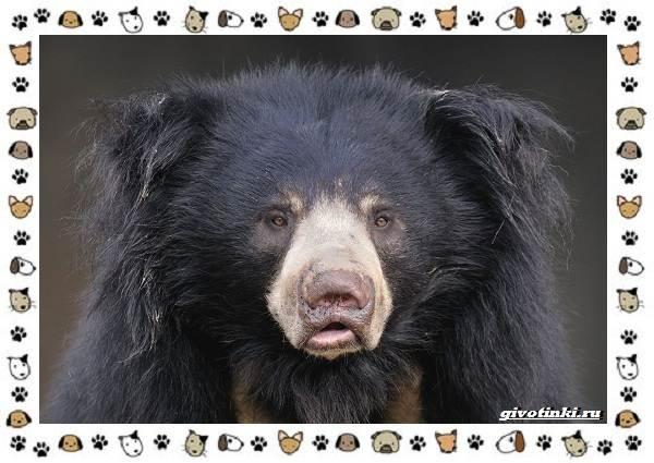 Виды-медведей-происхождение-распространение-поведение-25