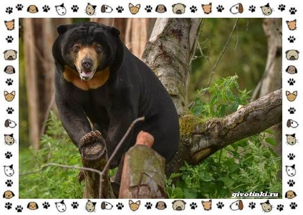 Виды-медведей-происхождение-распространение-поведение-26