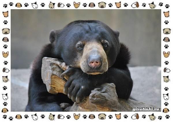 Виды-медведей-происхождение-распространение-поведение-27
