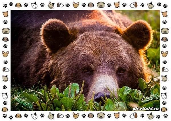 Виды-медведей-происхождение-распространение-поведение-4