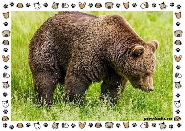 Виды-медведей-происхождение-распространение-поведение-5
