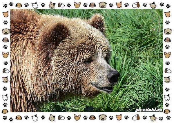 Виды-медведей-происхождение-распространение-поведение-6