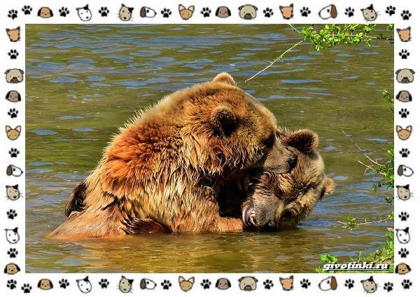 Виды-медведей-происхождение-распространение-поведение-7