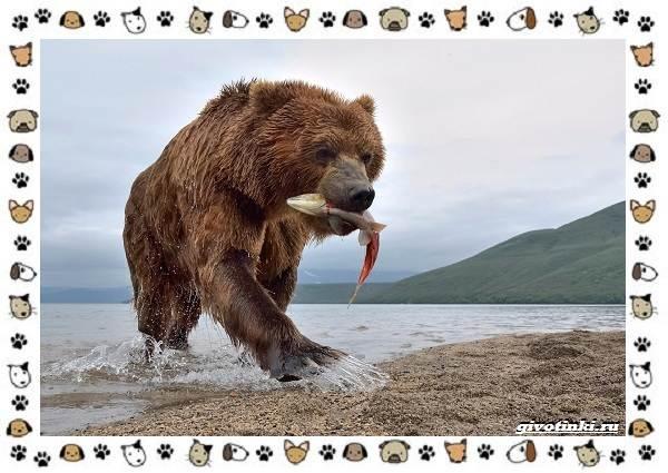 Виды-медведей-происхождение-распространение-поведение-8