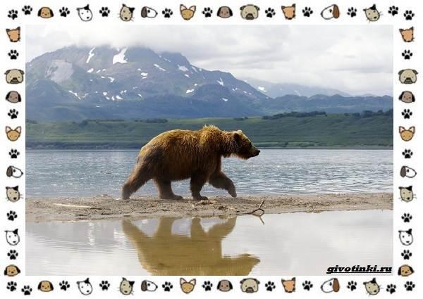 Виды-медведей-происхождение-распространение-поведение-9