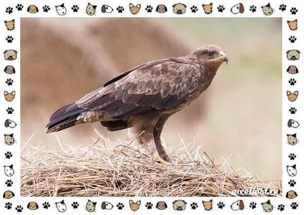 Виды-орлов-Описание-особенности-и-ареал-обитания-20