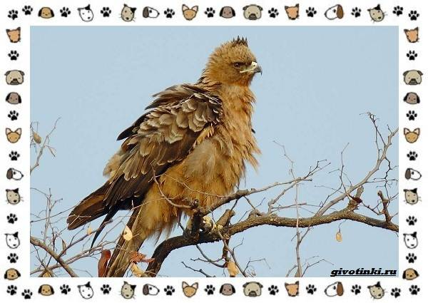 Виды-орлов-Описание-особенности-и-ареал-обитания-22