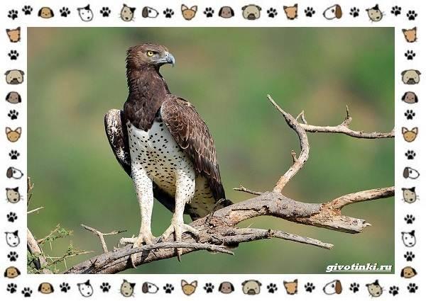 Виды-орлов-Описание-особенности-и-ареал-обитания-23