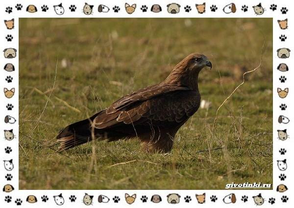 Виды-орлов-Описание-особенности-и-ареал-обитания-25