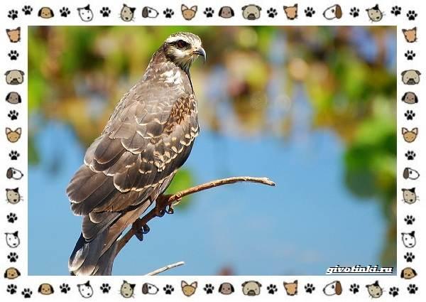 Виды-орлов-Описание-особенности-и-ареал-обитания-26