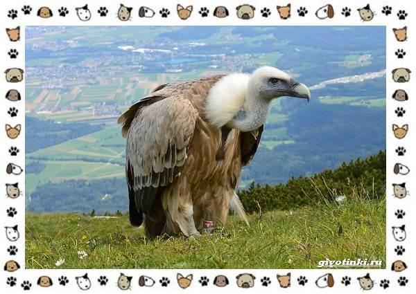 Виды-орлов-Описание-особенности-и-ареал-обитания-29