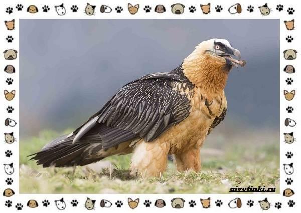 Виды-орлов-Описание-особенности-и-ареал-обитания-31