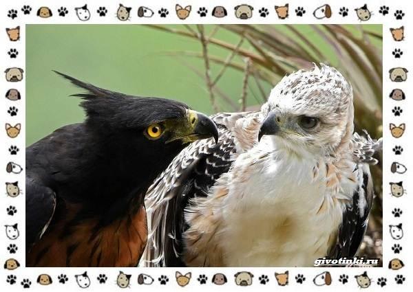 Виды-орлов-Описание-особенности-и-ареал-обитания-35