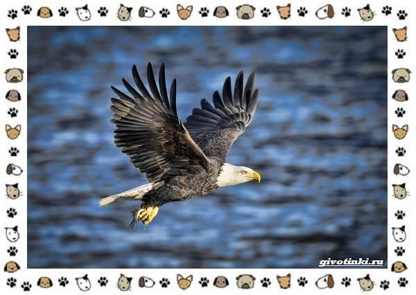 Виды-орлов-Описание-особенности-и-ареал-обитания-37