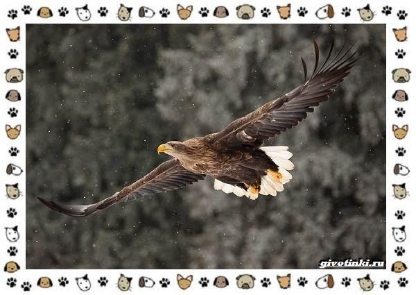 Виды-орлов-Описание-особенности-и-ареал-обитания-38
