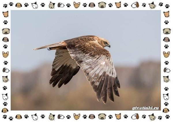 Виды-орлов-Описание-особенности-и-ареал-обитания-41