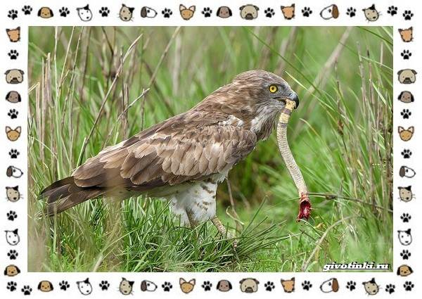 Виды-орлов-Описание-особенности-и-ареал-обитания-43