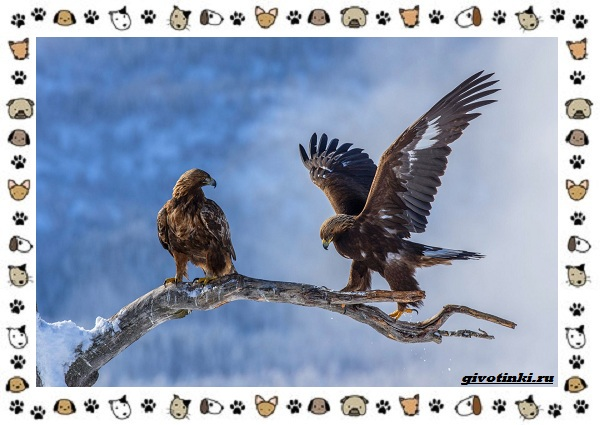 Виды-орлов-Описание-особенности-и-ареал-обитания-44